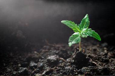 Cannabis Keimlinge - Sämlinge