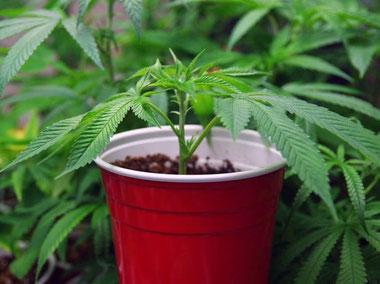 Cannabis Klone - Stecklinge