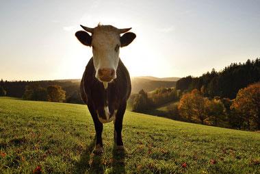 Kuh vor Schwarzwaldpanorama