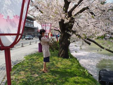 桜まつり、と言えば「ぼんぼり」です♪