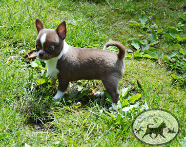 chihuahua chocolat chiot elevage eleveur