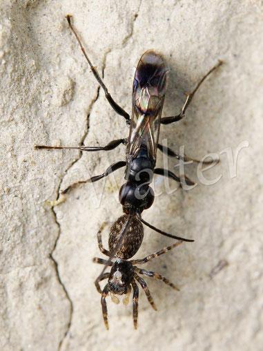 Bild: Wegwespe Dipogon spec. mit Spinnenproviant