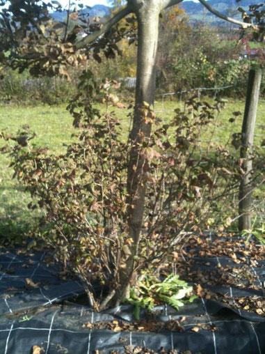Früher standen die Obstbäume und Beerensträucher mit ihren Wurzeln in einer Plastikwüste.