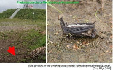 Fledermaus getötet durch Boratrauma     Foto: Holger Schütt