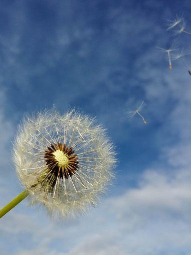 Andrea - Foto 5 - Pusteblume im Wind