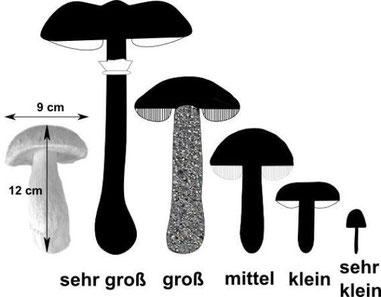 Pilzgrößen zum Vergleich mit einem typischen Steinpilz