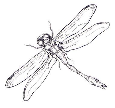 Libelle, Stahlfederzeichnung © Caroline Ronnefeldt