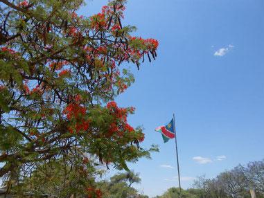 ジャカランダかアカシア at Rundu Town Coucil