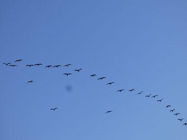 今日も渡り鳥~