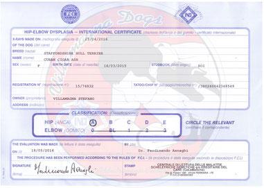 Lastre displasia HD Ce.Le.Ma.Sche Staffordshire bull terrier