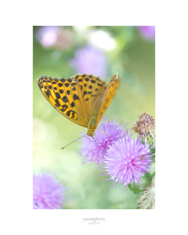 Schmetterling, Mittag, Makro, Fotografie