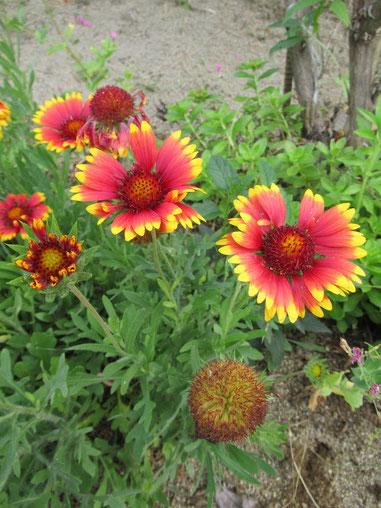 2019年6月23日・教会の庭のガイラルディアの花です