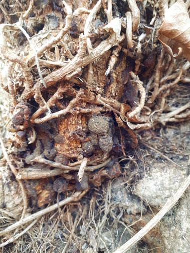EFEU HARZ Efeuharz Hedera helix Räucherharz Räuchern Räucherpflanze ivy resin incense Gummi Gummiresina Hederae
