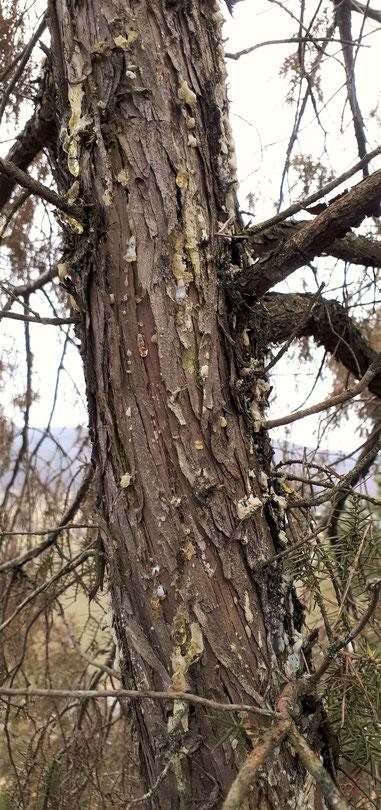 Wacholder Harz Wacholderharz Sammeln Juniperus communis juniper resin incense Räuchern Räucherwerk Räucherung