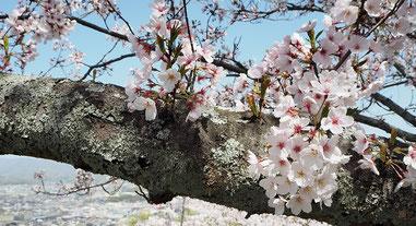 桜写真、入学式、ヒューマンキャンパス高等学校、福山サポート教室