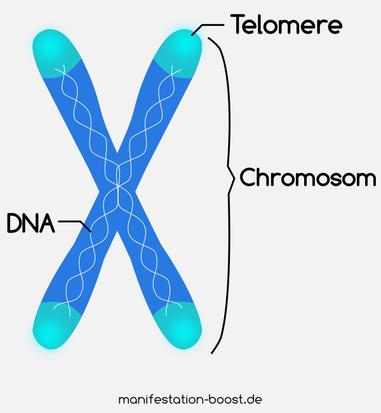 Telomere sind wie die Plastikkappen am Ende der Schnürsenkel.