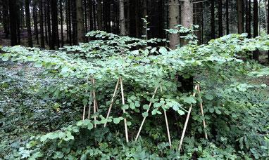 Holzstangen stehen in einem Zickzackmuster aufrecht in grünen Blättern eines Busches