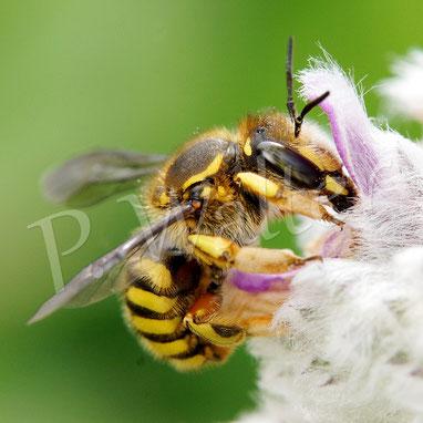 Bild: Garten-Wollbiene, Anthidium manicatum, Woll-Ziest