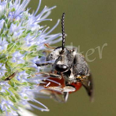 Bild: Große Blutbiene, Sphecodes albilabris, blaue Kugeldistel