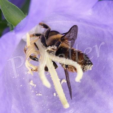 Bild: Blattschneiderbiene, Megachile spec., trinkt Nektar, Pfirsichblättrige Glockenblume