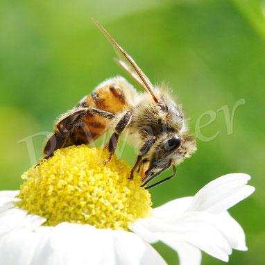 Bild: Honigbiene, Kamillenblüte