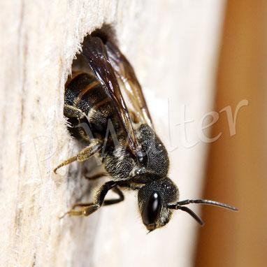 06.08.2017 : unbestimmte Wildbiene