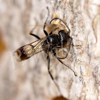 17.09.2017 : Wegwespe Dipogon spec. verschließt mit Holzstückchen Ihren Nistgang, wo sie Spinnen als Proviant gesammelt hat, siehe unten, eine Woche früher