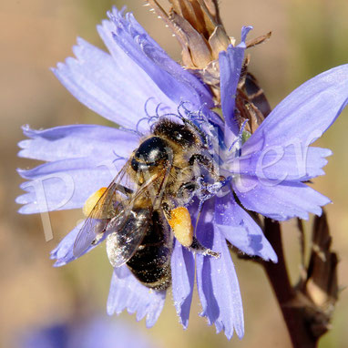 18.08.2018 : vollgepackte Honigbiene an der Wegwarte