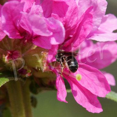 Bild: Wildbiene (Löcherbiene ?) am Blutweiderich