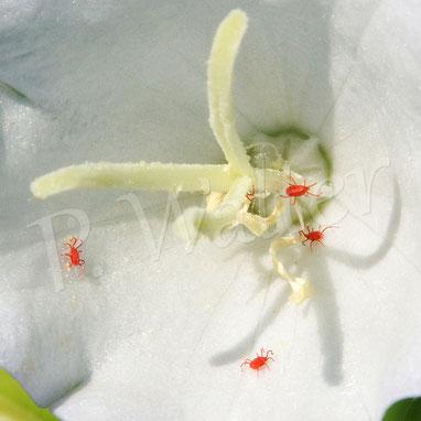 26.05.2018 : Rote Samtmilben warten in der Glockenblumenblüte auf mögliche Opfer zum Blutsaugen ?
