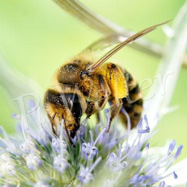 Bild: Wildbiene (Sandbiene ?) an der blauen Kugeldistel