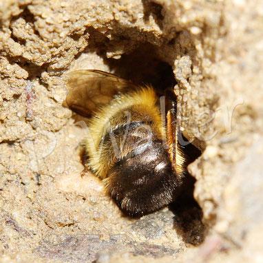 """28.05.2017 : Rostrote Mauerbiene an bereit gestellten feuchten """"Lehmwand"""" (Erde im liegenden Pflanztopf)"""