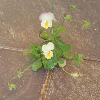 Blühendes Hornveilchen, das aus einer Spalte in einem Steinboden gewachsen ist - Sinnbild für Resilienz trotz widriger Umstände