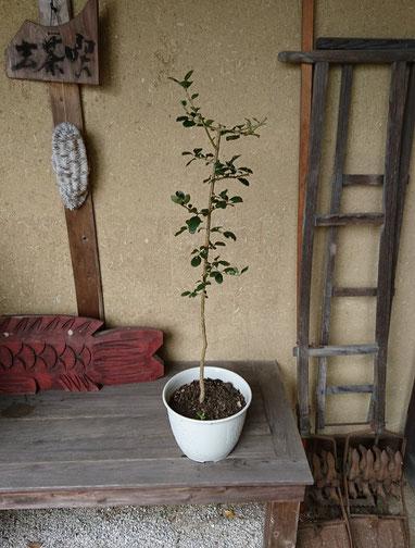 伊勢神宮から備前国総社宮に賜ったなんじゃもんじゃの樹
