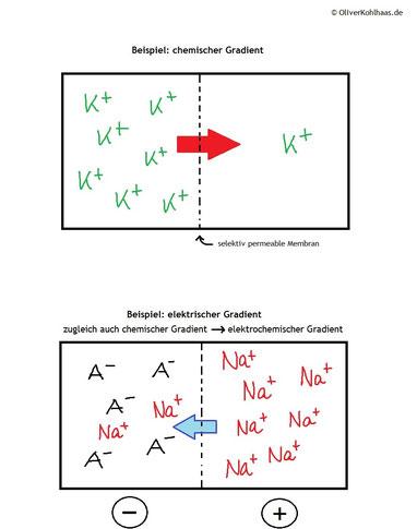 Abb. 1: Übersicht elektrochemische Gradienten