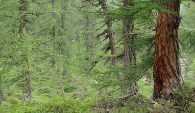 Sagenhafte Urwälder mit Flechten und Moosen