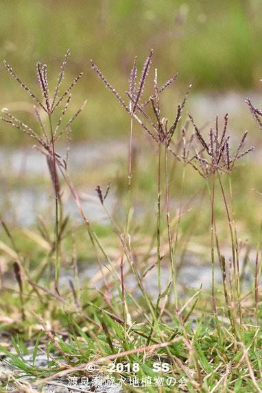 渡良瀬遊水地に生育するギョウギシバの画像