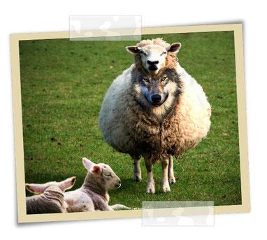 Méfiez-vous des prétendus prophètes! Ils viennent à vous en vêtements de brebis, mais au-dedans ce sont des loups voraces. Vous les reconnaîtrez à leurs fruits. Cueille-t-on des raisins sur des ronces ou des figues sur des chardons?