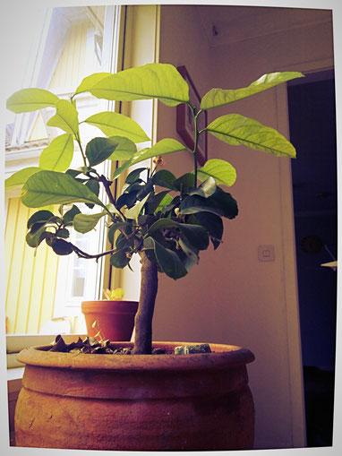 De bovenste bladeren van dit citroenboompje werden wel drie keer groter dan de oorspronkelijke bladeren nadat we een orgonite in de pot plaatsten.
