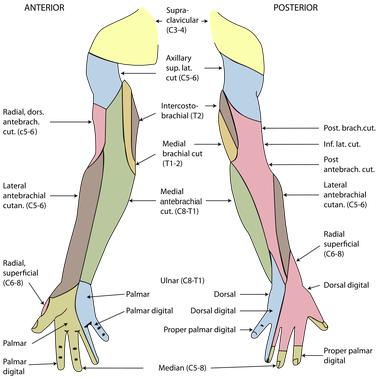 sensory function of the peripheral nerves of the arm
