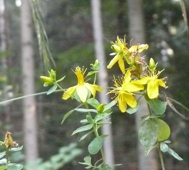 Hypericum peroratum. Blüten und Blättchen