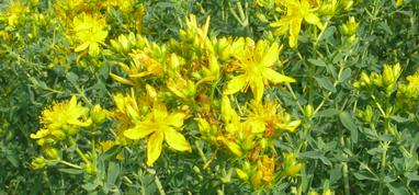 Hypericum perforatum Blüten