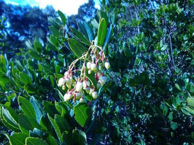 fiori di corbezzolo - arbutus flowers