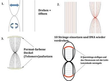 Aktivierungsschema der DNA