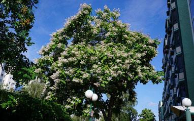 Der herzblättrige Trompetenbaum, Foto: Detlef Kirstein