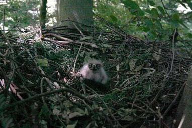 Schreiadler Jungvogel im Nest