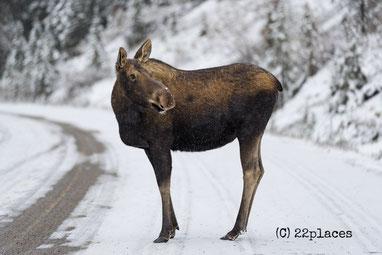 Elch im Jasper Nationalpark (C) 22places