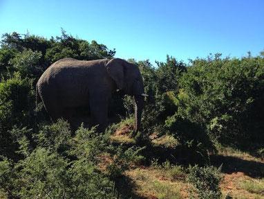 Der aggressive Nick: Er soll schon einen grösseren Elefanten und ein Nashorn auf dem Gewissen haben.