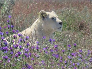 ティンババティのメスのホワイトライオン
