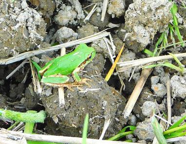 農薬・肥料・除草剤不使用の稲田にいたカエル